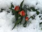 Spring Flowers In Snow